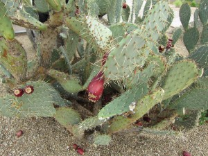 Prickly Pear Cactus at The Boulders