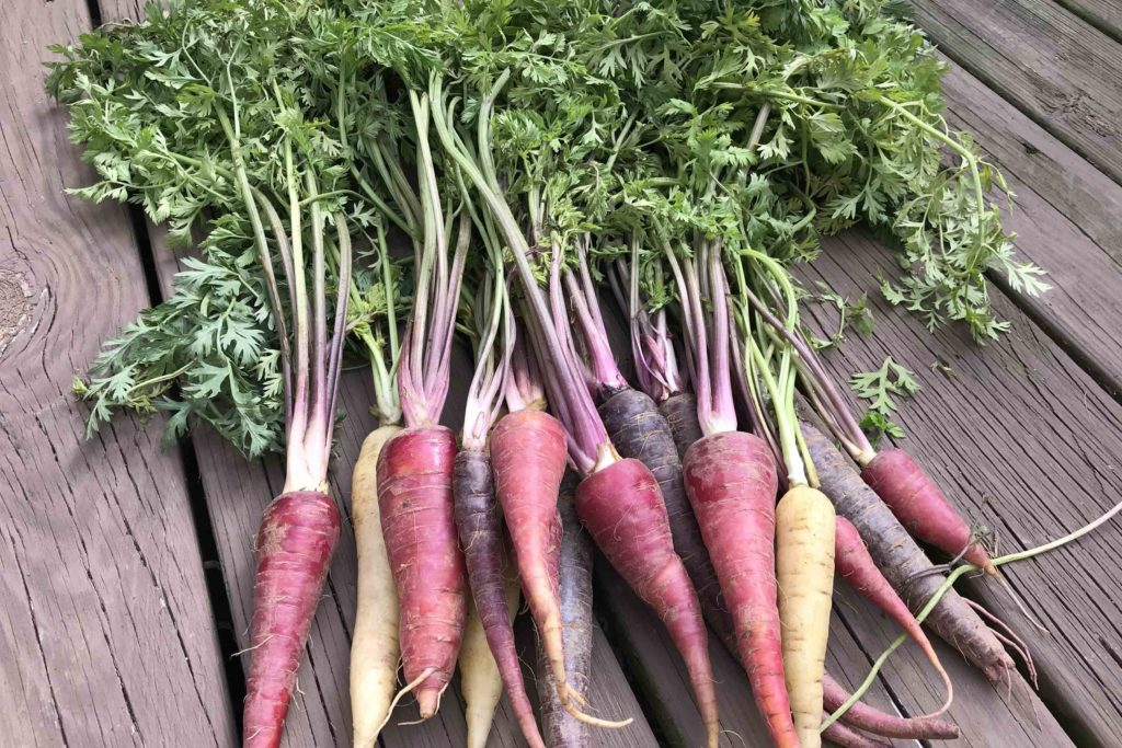 Bunch of Colorful Carrots